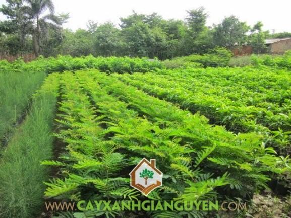 cây xanh Gia Nguyễn, cung cấp cây giống, cây giống, cây giống lâm nghiệp, cây lâm nghiệp, cây lim xẹt, vườn ươm cây xanh Gia Nguyễn