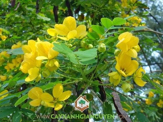 cây xanh Gia Nguyễn, cây giống, cung cấp cây giống, cây muồng đen, cây giống lâm nghiệp, cây lâm nghiệp, vườn ươm cây xanh Gia Nguyễn