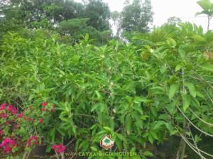 cây xanh Gia Nguyễn, cung cấp cây giống, cây giống, cây giống lâm nghiệp, cây ngọc lan, vườn ươm cây xanh Gia Nguyễn