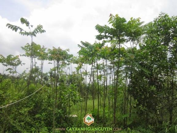 cây xanh Gia Nguyễn, cây lát hoa, cây giống, cung cấp cây giống