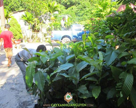 cây xanh Gia Nguyễn, cây giống, cung cấp cây giống, cây giống lâm nghiệp, cây lâm nghiệp, cây dầu rái, cây xanh Gia Nguyễn