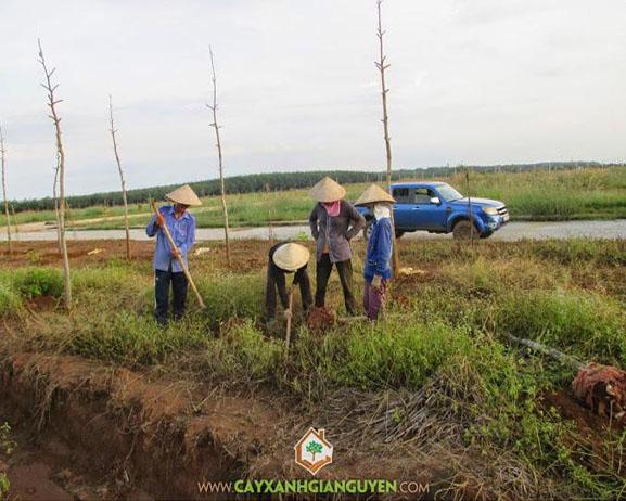 cây xanh Gia Nguyễn, cây giống lâm nghiệp, cây lâm nghiệp, cung cấp cây giống, cây dầu rái, vườn ươm cây xanh Gia Nguyễn