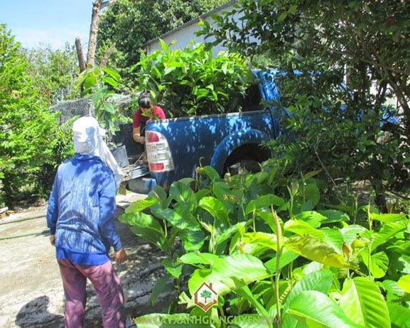 cây xanh Gia Nguyễn, công ty cây xanh Gia Nguyễn, cây giống, cung cấp cây giống lâm nghiệp, cây lâm nghiệp, cây dầu rái, vườn ươm cây xanh Gia Nguyễn
