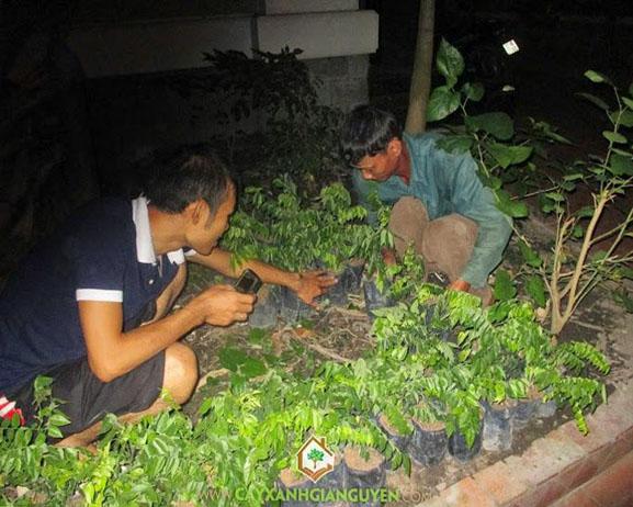 cây xanh Gia Nguyễn, cây giống lâm nghiệp, cây lâm nghiệp, cây sưa đỏ, vườn ươm cây xanh Gia Nguyễn, cây giống, cung cấp cây giống