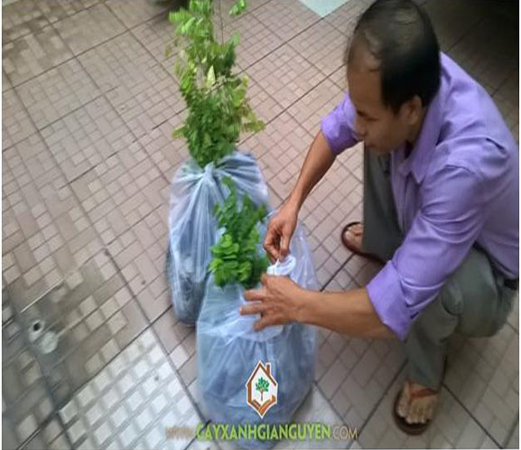 cây xanh Gia Nguyễn, cây giống lâm nghiệp, cây gỗ trắc, cây giáng hương, cung cấp cây giống, vườn ươm cây xanh Gia Nguyễn