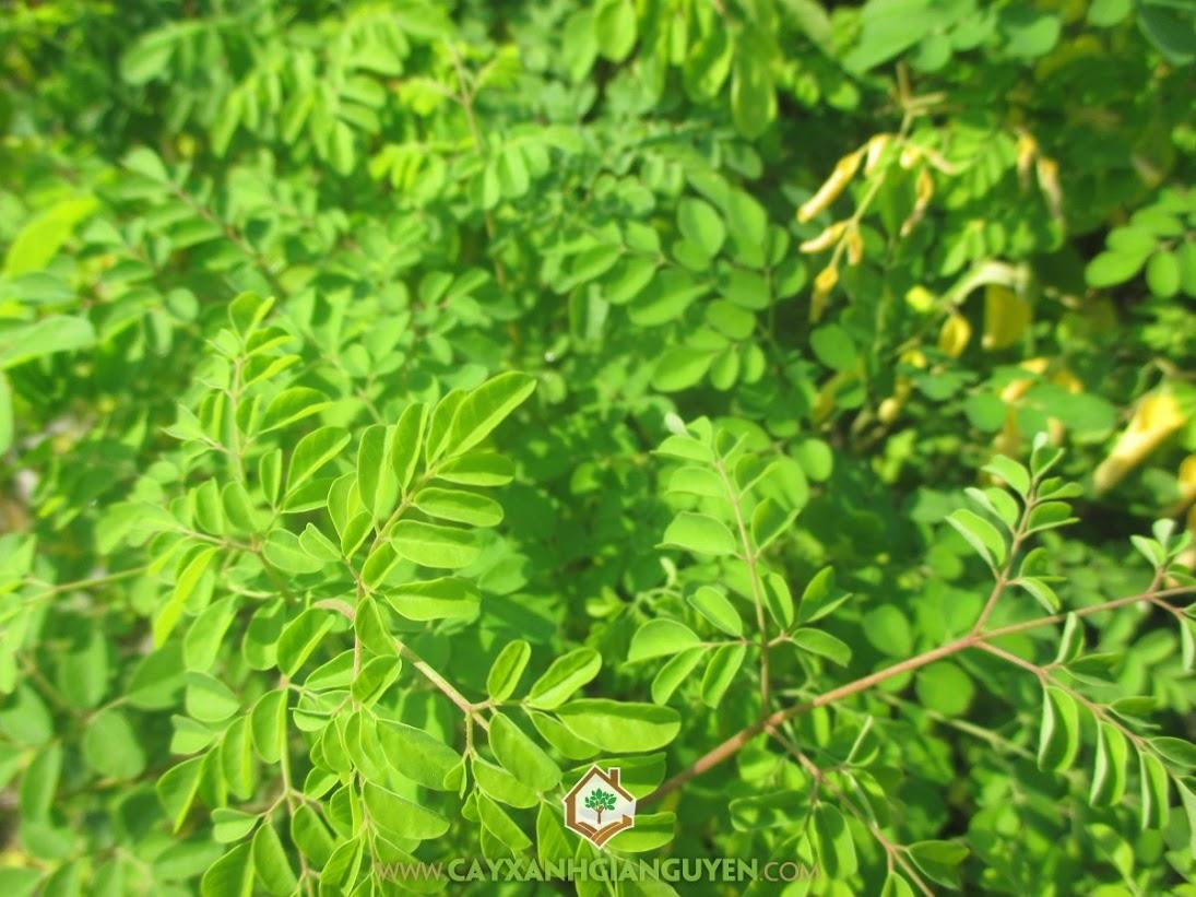 Chùm Ngây, Cải Ngựa, Dùi Trống, Dầu Bel, Moringa oleifera, M. pterygosperma