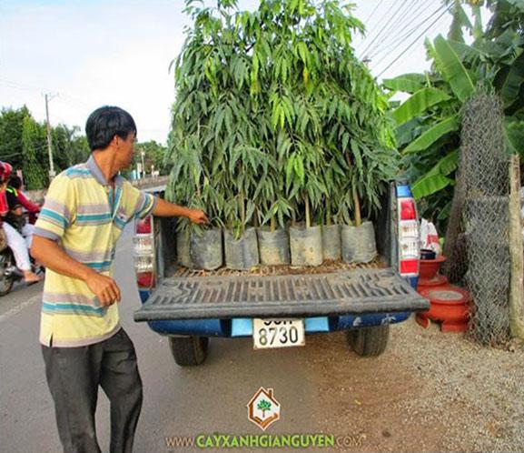 Cây giống, cây xanh Gia Nguyễn, công ty cây xanh Gia Nguyễn, cây chà là, cây sưa đỏ, cây gõ đỏ, cây cẩm lai