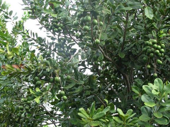 Café, Macca, cây trồng, chọn giống, chăm sóc cây
