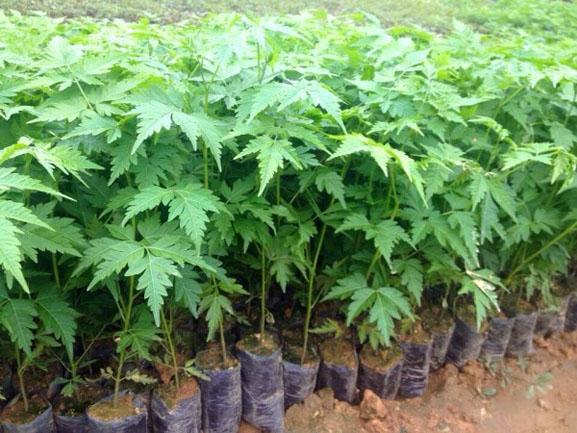 xoan đào, gỗ xoan đào, trồng cây, chăm sóc cây, cây lâm nghiệp