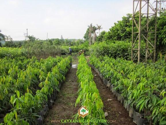 Mùa mưa đến sớm công ty cây xanh Gia Nguyễn chuẩn bị bán cây giống