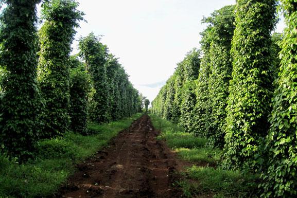 Hồ tiêu, muồng đen, cây giống lâm nghiệp, cung cấp cây giống, cây lâm nghiệp