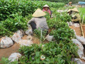 rp_cay-xanh-gia-nguyen-cung-cap-cay-gao-vang-cho-anh-nhan-1.jpg