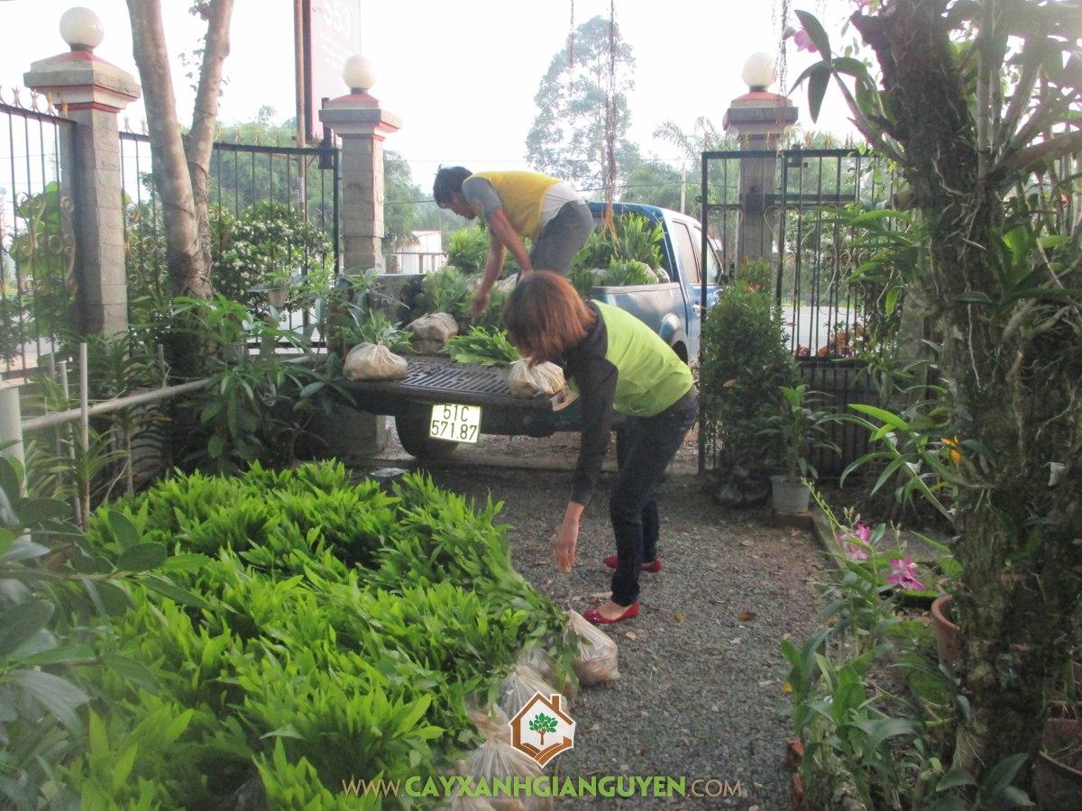 Cây keo lai, cây giống, cây xanh Gia Nguyễn, keo lai BV 32, Công ty cây xanh Gia Nguyễn
