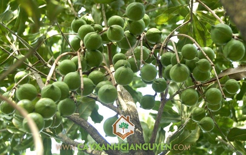 Cây mắc ca, kỹ thuật trồng cây mắc ca, cây ăn trái, cây giống, chọn giống