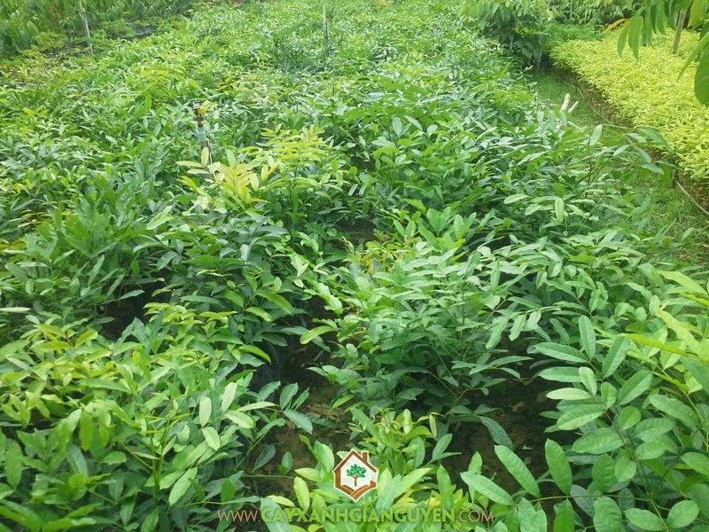 Xà cừ là loài cây ưa sáng, dễ trồng, mọc nhanh