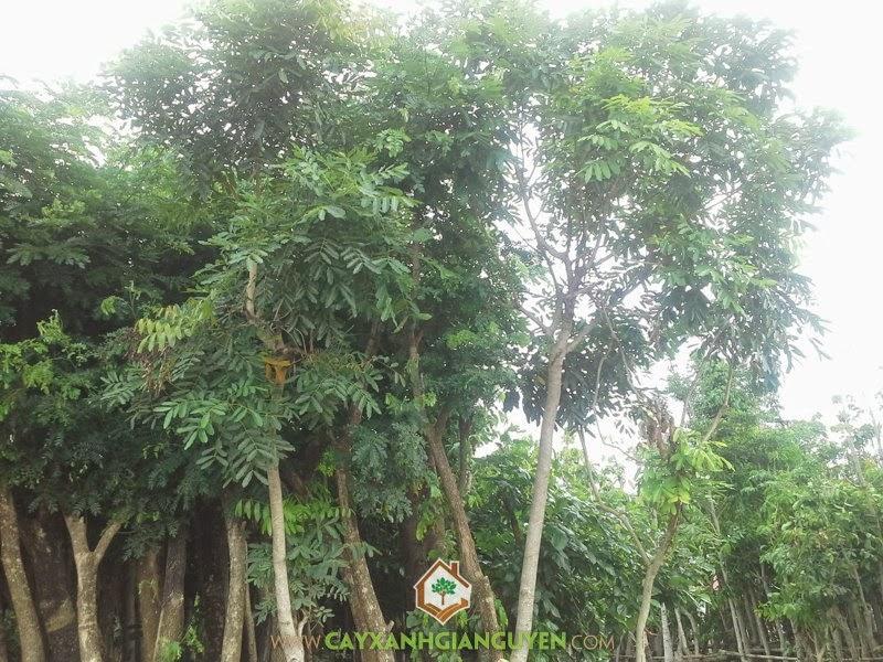 Mật độ trồng cây xà cừ lí tưởng nhất đó là 625 cây trên 1 hecta