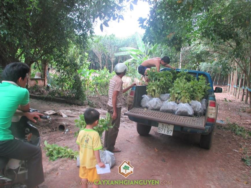 cây giống lâm nghiệp, cây gáo vàng, cây tỉ phú, cây xanh gia nguyễn, cây giống,