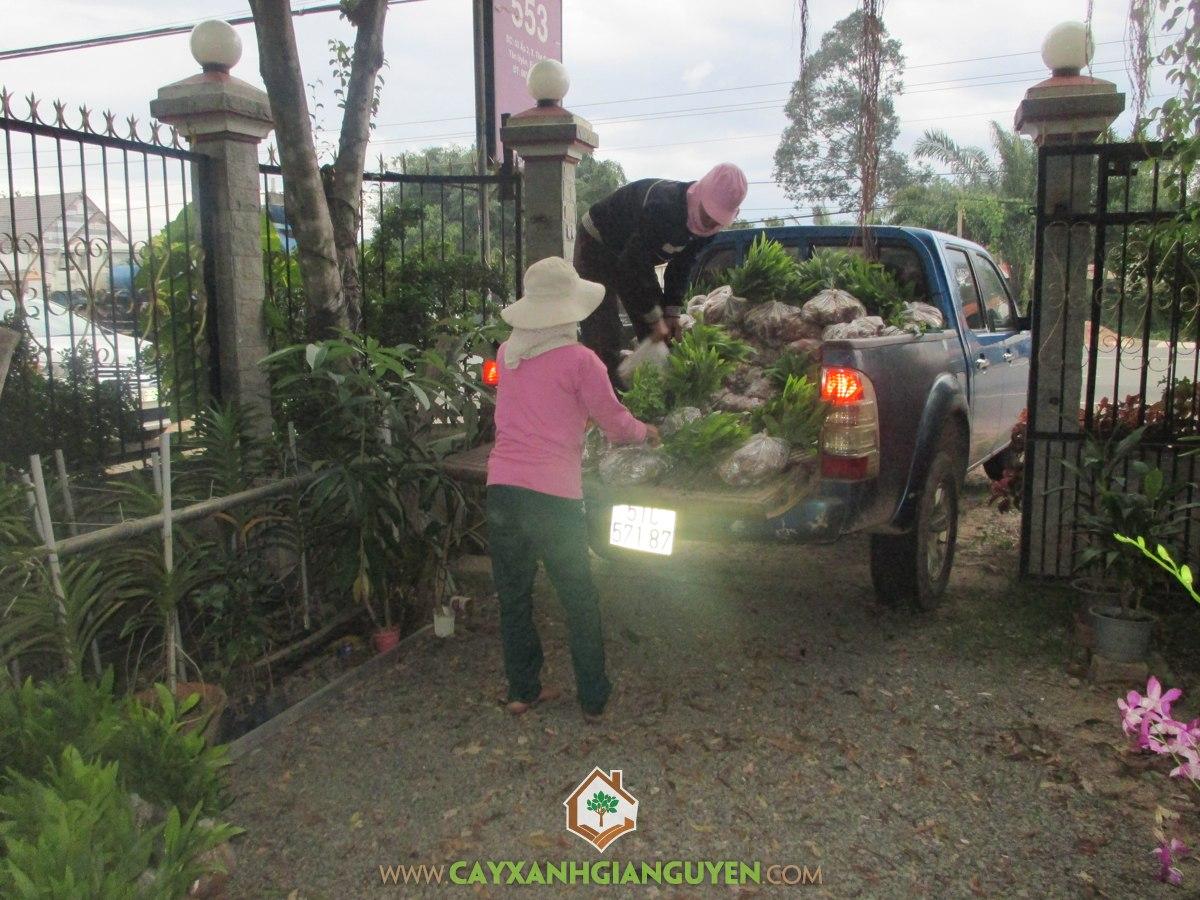 Cây xanh Gia Nguyễn, cây keo lai, Công ty cây xanh Gia Nguyễn, cung cấp cây giống, cây giống