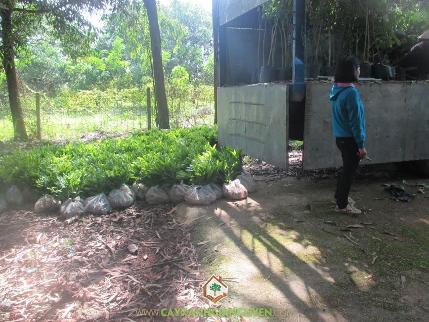 cây giống lâm nghiệp, cây xanh gia nguyễn, cây dầu rái, cao su đồng phú, cung cấp cây giống