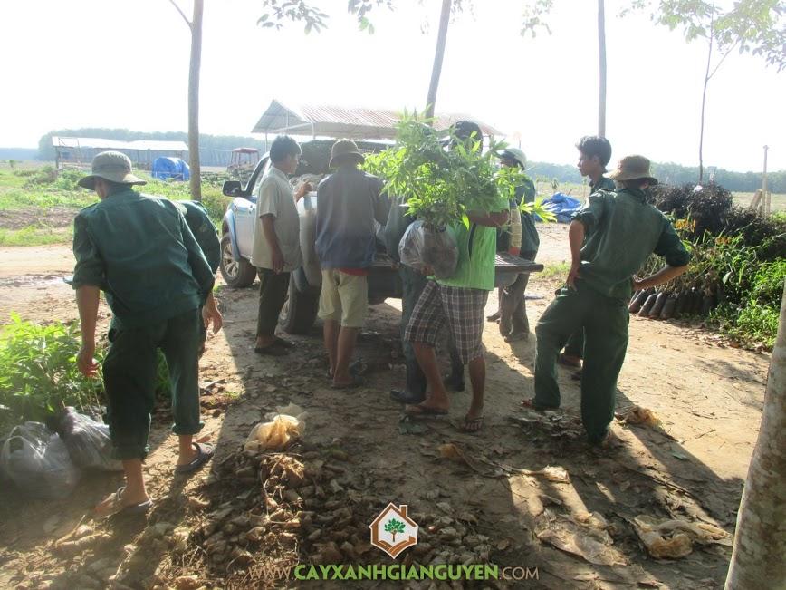 cây xanh gia nguyễn, cây keo lai, cung cấp cây keo lai, cây giống keo lai, cây giống lâm nghiệp
