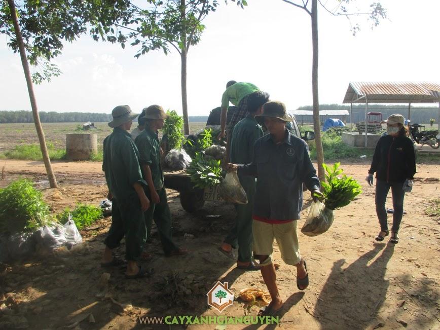 cây keo lai, cung cấp cây keo lai, cây giống keo lai, cây giống lâm nghiệp