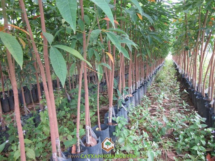 Mủ cao su, Cây cao su, Gỗ cao su, Thời gian thu hoạch cây cao su, Thu hoạch mủ