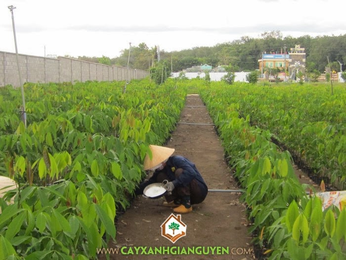 Cây cao su, Cây giống lâm nghiệp, Cao su, Phương pháp cây cao su lưu hóa, Mô hình trồng cây cao su