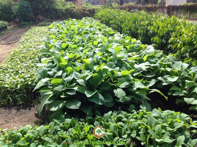 Cây giá tỵ, Cây xanh Gia Nguyễn, Giá tỵ, vườn ươm cây giá tỵ, Cánh rừng giá tỵ