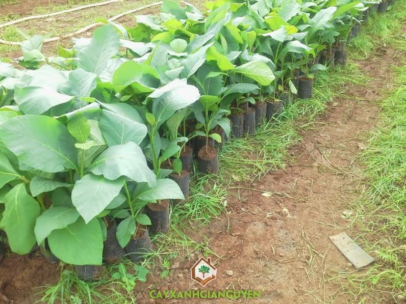 Cây gỗ tếch, cây giống, Cây tếch, Cây giá tỵ, Công ty cây xanh Gia Nguyễn