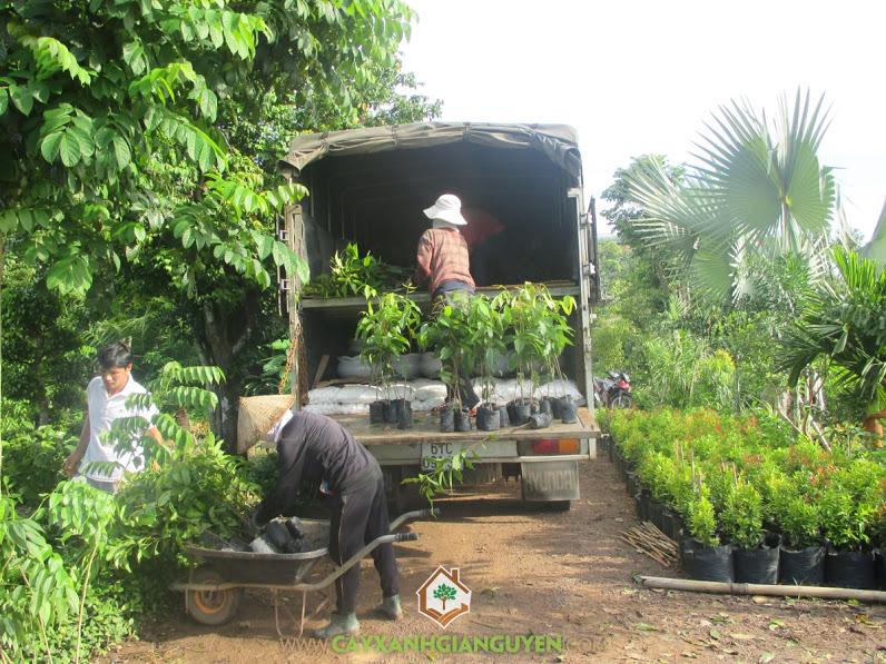 Cây xanh Gia Nguyễn, Cây dái ngựa, Giống cây trồng chất lượng, Cây xà cừ Tây Ấn, Cây nhạc ngựa