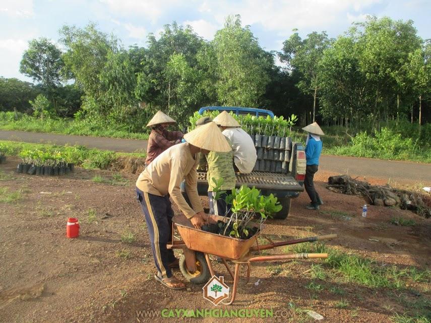 Cây xanh Gia Nguyễn, Cây điều, Giống điều, Đất trồng điều, Công ty cây xanh Gia Nguyễn