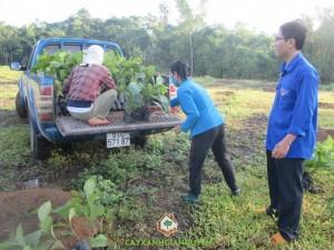Cây xanh Gia Nguyễn, Cây giá tỵ, Trồng và chăm sóc cây giá tỵ, Giá tỵ, Công ty cây xanh Gia Nguyễn