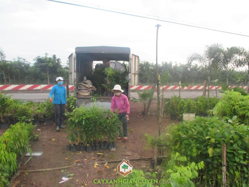 Công ty cây xanh Gia Nguyễn, Cây xà cừ, Cây điều, Cây bạch đàn, Kỹ thuật chăm sóc cây