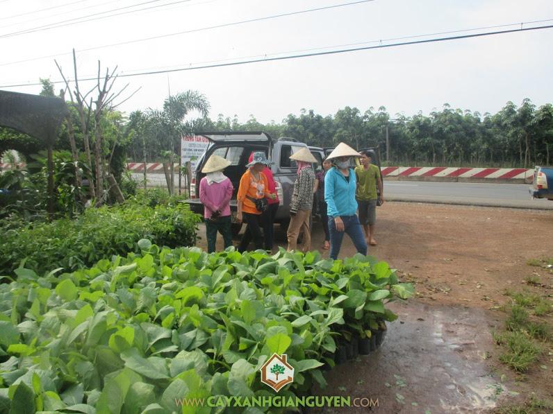 Cây xanh Gia Nguyễn, Cây xà cừ, Cây lâm nghiệp, Cây tràm, Xà cừ