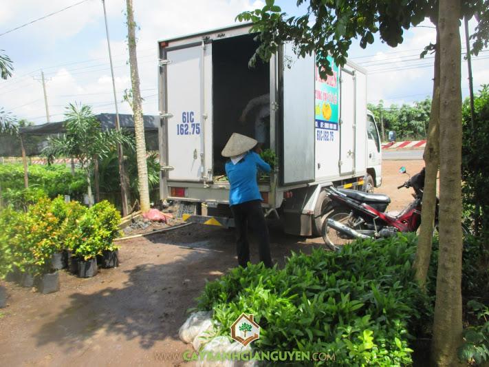 Công ty cây xanh Gia Nguyễn, Cây keo lai, Keo tai tượng, Vườn ươm cây xanh Gia Nguyễn, Cây giống