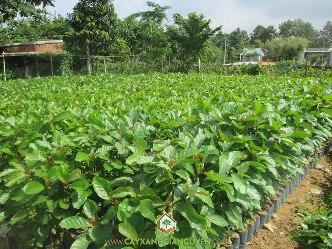 Công ty cây xanh Gia Nguyễn, Cây xanh Gia Nguyễn, Cây gáo vàng, Cây lâm nghiệp, Trồng cây gáo vàng