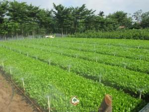 Keo lai, Kỹ thuật trồng cây keo lai, Cây keo lai, Trồng keo lai giâm hom, Các kỹ thuật trồng