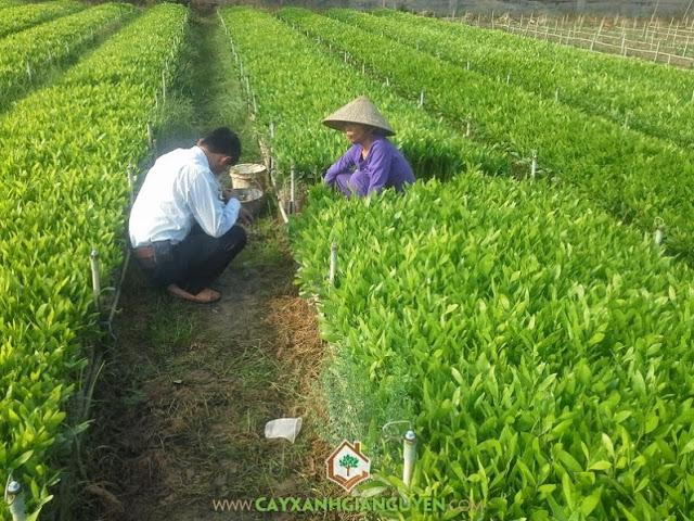 Cây keo lai, Cây giống lâm nghiệp, Trồng cây keo lai, Kỹ thuật trồng cây keo lai, Cây hom