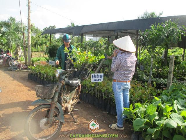 Công ty cây xanh Gia Nguyễn, Cây điều Ấn Độ AB 05 -08, Giống điều AB Ấn Độ, Cây xanh Gia Nguyễn, Cây giống