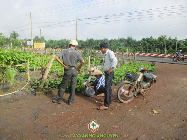 Công ty cây xanh Gia Nguyễn, Cây giá tỵ, vườn ươm cây xanh Gia Nguyễn, Gáo vàng, Keo lai