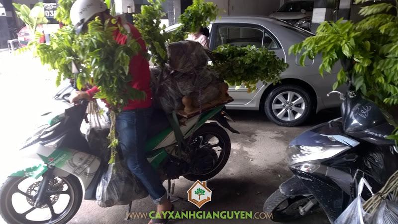 Công ty cây xanh Gia Nguyễn, Cây gỗ trắc, sưa đỏ, Cây xanh Gia Nguyễn, Cây giống