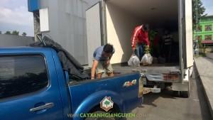 Công ty cây xanh Gia Nguyễn, Cây xoan đào, gáo vàng, Giáng hương, Cẩm lai