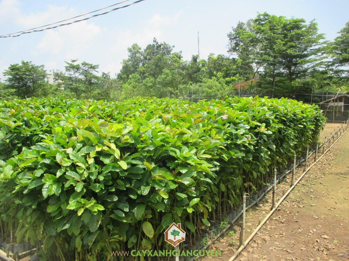 Cây thiên ngân, Cây xanh Gia Nguyễn, Giống cây, Gỗ thiên ngân, Nhà cung cấp cây giống