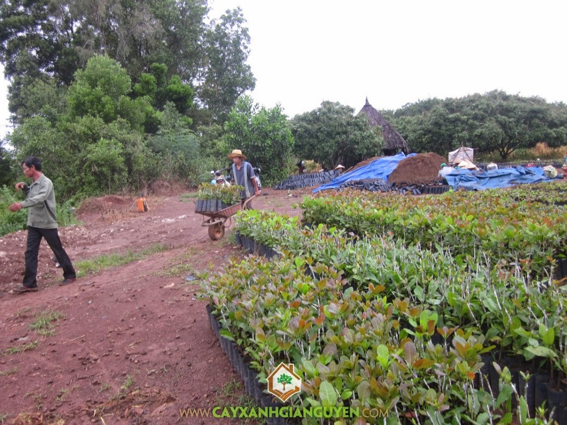 Điều giống, Cây điều, Vườn điều, Trồng cây điều, Chăm sóc cây điều