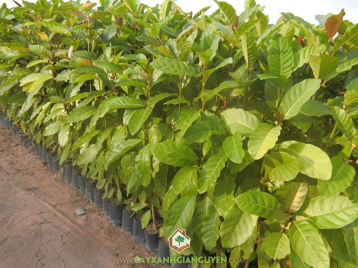 Cây gáo vàng, Cây xanh Gia Nguyễn, Giống cây lâm nghiệp, Cây giống chất lượng, Trồng và chăm sóc cây gáo vàng