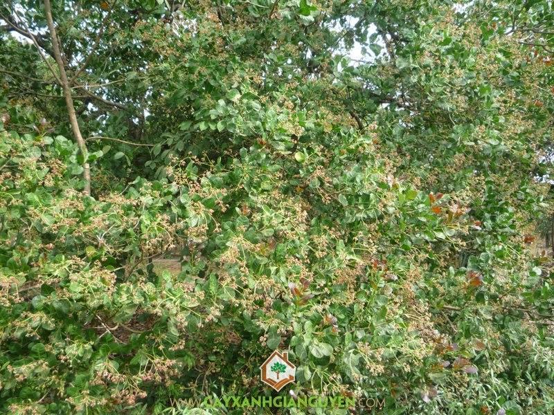 Cây điều, Điều giống, Cây xanh Gia Nguyễn, Giống điều cao sản, Kỹ thuật trồng và chăm sóc