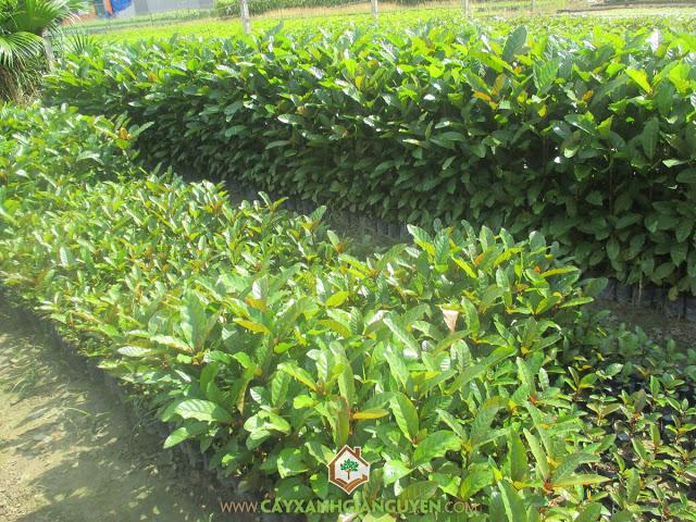 Cây gáo vàng, Cây trồng lấy gỗ, Cây tỷ phú, Gáo vàng, Cây xanh Gia Nguyễn