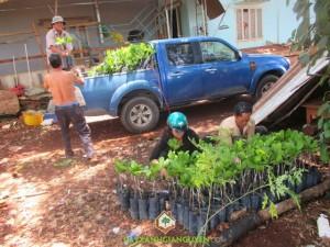 Cây xanh Gia Nguyễn, Điều giống, Cây điều, Cung cấp điều giống, Giống điều ghép, Cây điều Thái Lan