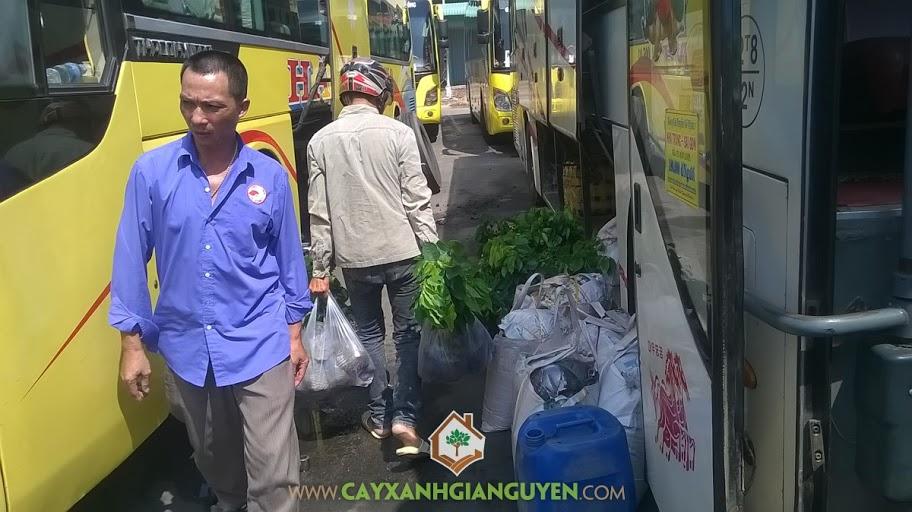 Công ty cây xanh Gia Nguyễn, Cây giáng hương, Công ty TNHH Diên Huệ, Cây giống, Cây giống cây giáng hương