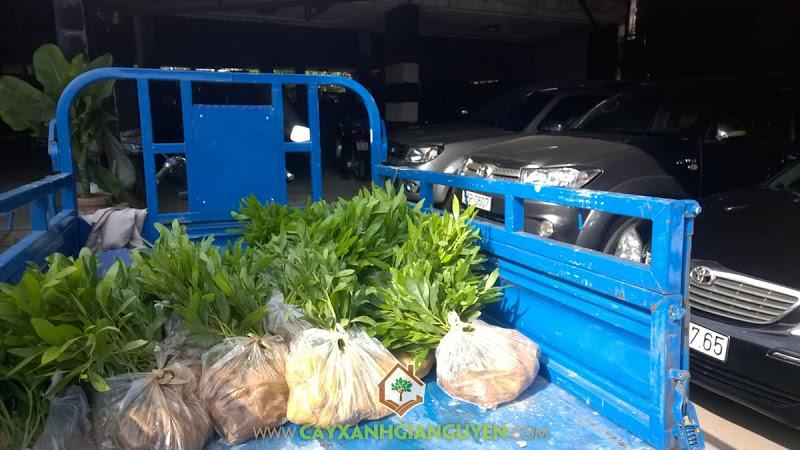 Công ty cây xanh Gia Nguyễn, Cây keo lai, Giống keo lai, Giá keo lai giống, Trồng keo lai